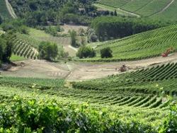 Zoom sulla parte centrale della Vigna Rionda come si presentava il 30/06/2011 al